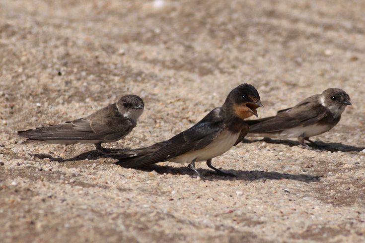 Barn Swallow and Sand Martin
