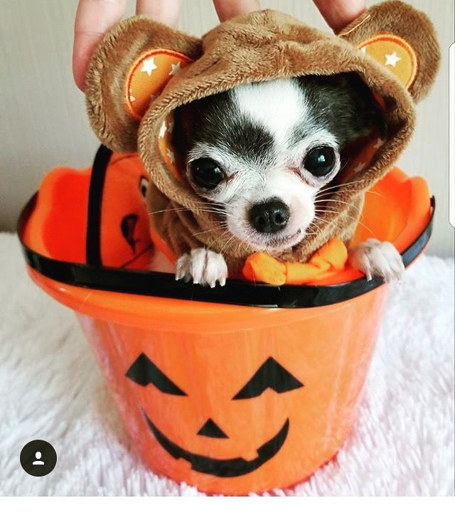 Send a picture of your Chihuahua dressed up for Halloween to editor@famouschihuahua.com and we will feature it in our Chihuahua Halloween picture gallery this October 30th and 31st! Boo! www.famouschihuahua.com