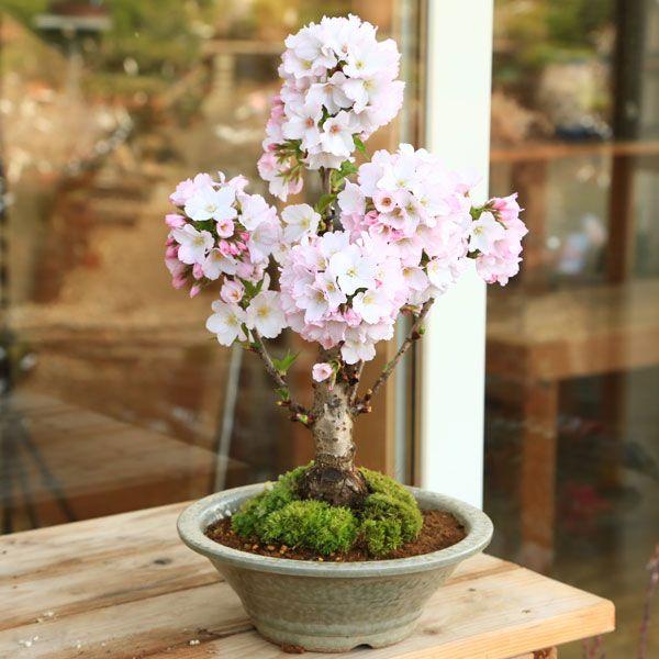 桜盆栽:御殿場桜(萬古焼白鉢)