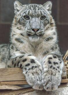 ❧ Wild cats - Les félins ❧ Léopard des neiges                                                                                                                                                      Plus
