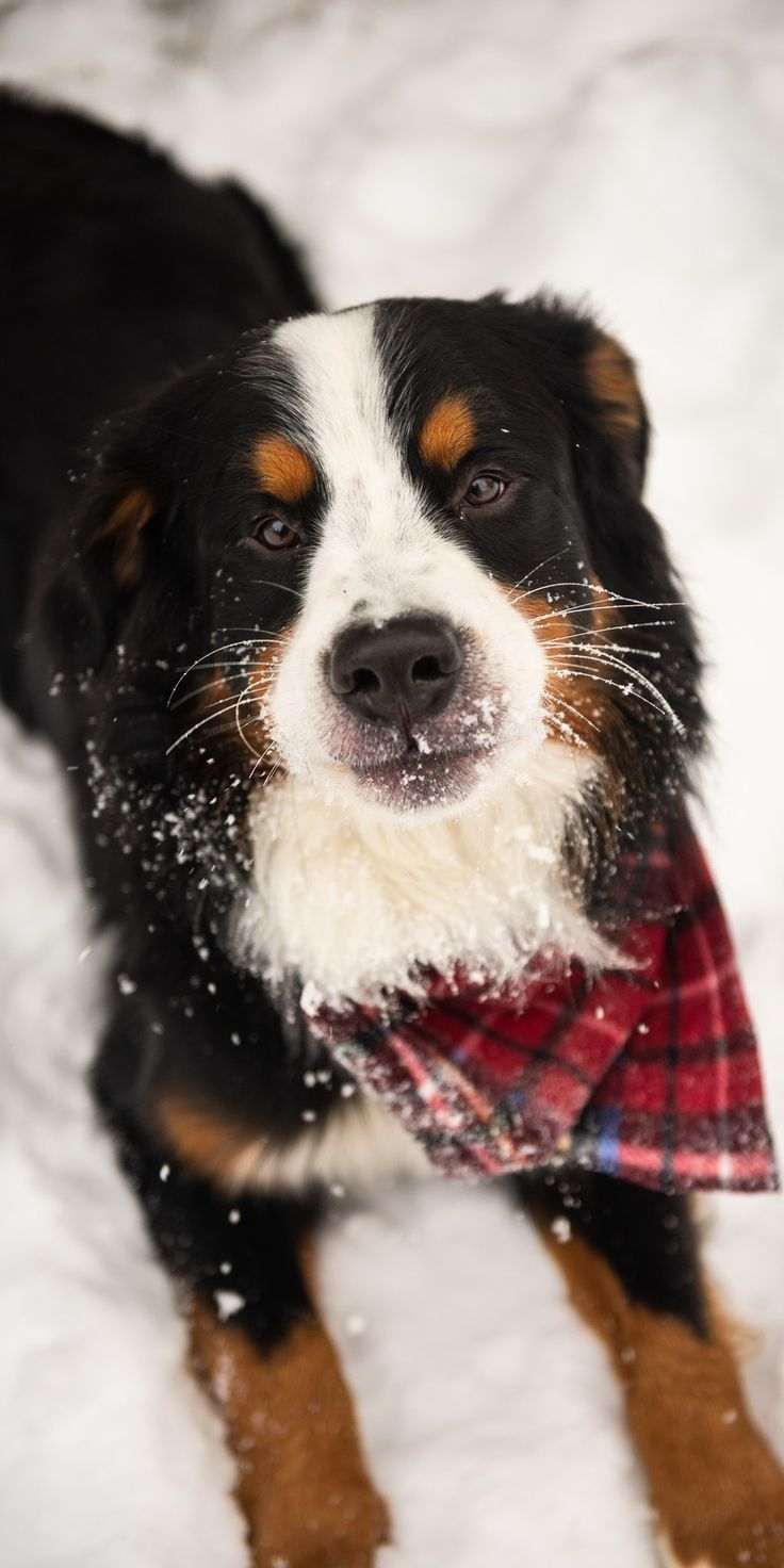 Notitle Source By Limelight Clique The Post Appeared First On Kuba Dog Life In 2020 Bernese Mountain Dog Funny Mountain Dogs Bernese Mountain Dog