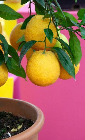 Cómo cultivar un limonero en maceta y labores de mantenimiento