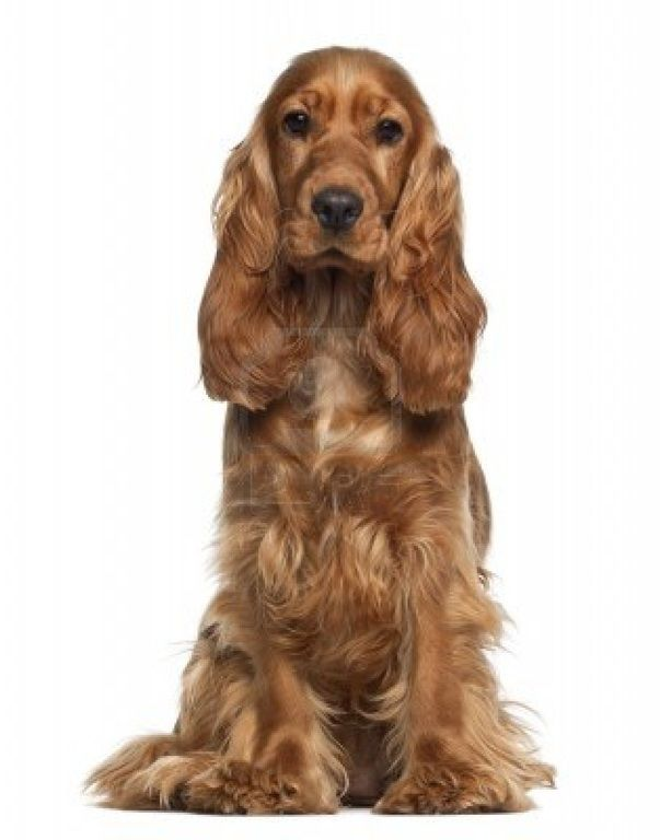 "English Cocker Spaniel : What I call the ""Tanya"" dog after the much loved member of the family!"