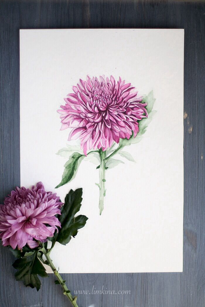 Chrysanthemum. Watercolor Illustration by Elena Limkna.  They symbolize optimism and joy