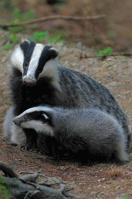 Badger mum and baby #Dachse