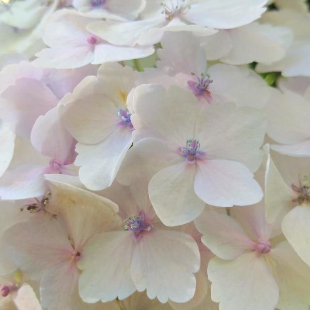#hydrangea #palepink #white #flower #girly #summertime #VancouverBC #Blackberryphoto  Look at these hydrangea dusted with the gentlest shade of pink! As if flowers aren't girly enough...