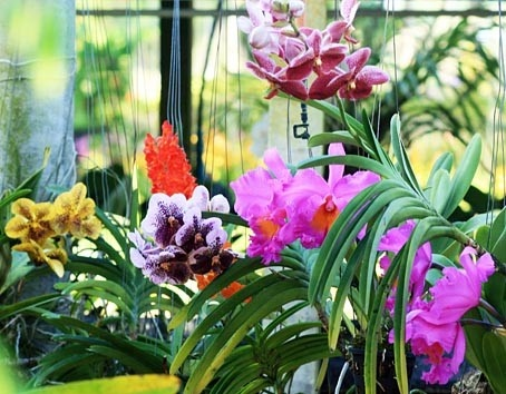 A orchid garden with various types such as cattleya, phalaenopsis, cymbidium and dendrobium