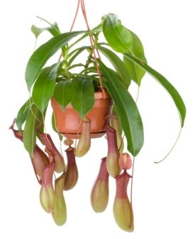 pitcher plant care, tropical pitcher plant, carnivorous pitcher plant- guide to houseplant care