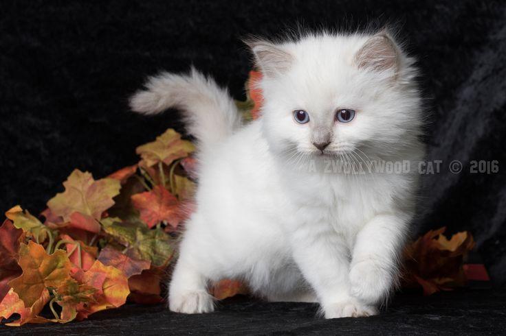 2016: Pebbles A Zwollywood Cat. 7 Weeks old Ragdoll kitten, lilac colourpoint. Flintstones litter.