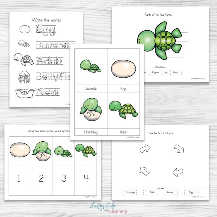 Sea Turtle Life Cycle Worksheets For Kids Turtle Life Cycle Sea Turtle Life Cycle Turtle Life