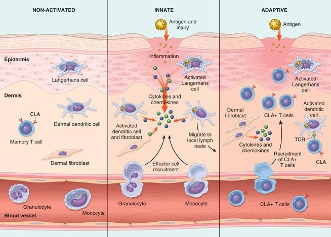 Leukocytes ~ macrophages, neutrophils, mast cells, natural killer cells, dendritic cells- macrophages = phagocytose pathogen and then act as antigen presenting cell.- neutrophils = Polymorphonuclear leukocytes = PMNs = phagocytose pathogen and destroys it.- mast cells: release histamine during an allergic response, bring about