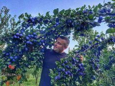 Слива, правильное выращивание  Плоды сливы обладают высокой калорийностью, превосходя яблоки, груши, абрикосы, персик, смородину, малину и землянику. В ... - Сад огород - Google+
