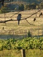 Kookaburra sits in the old gum tree @HelmWines, Murrumbateman Australia