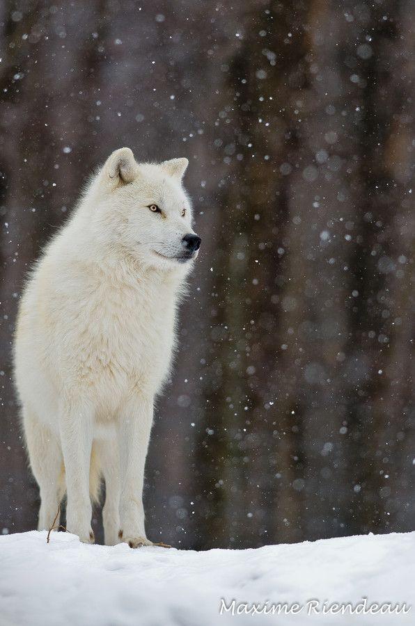~~Let it snow ~ Arctic Wolf by Maxime Riendeau~~