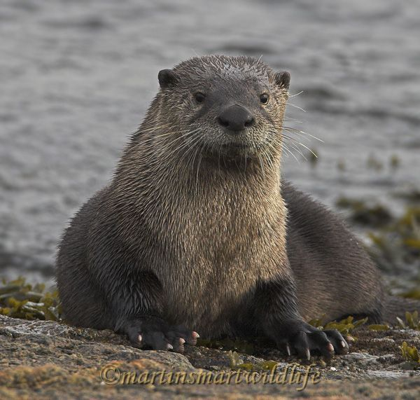 about adult river otters