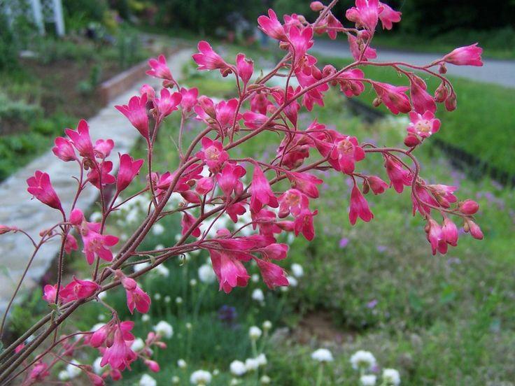 Heuchera brizoides 'Red Spangles' https://jardinage.ooreka.fr/plante/voir/389/heuchere