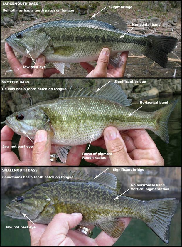 Ask the Pros: How to tell a Spotted Bass from a Largemouth Bass? - WRCBtv.com   Chattanooga News, Weather & Sports