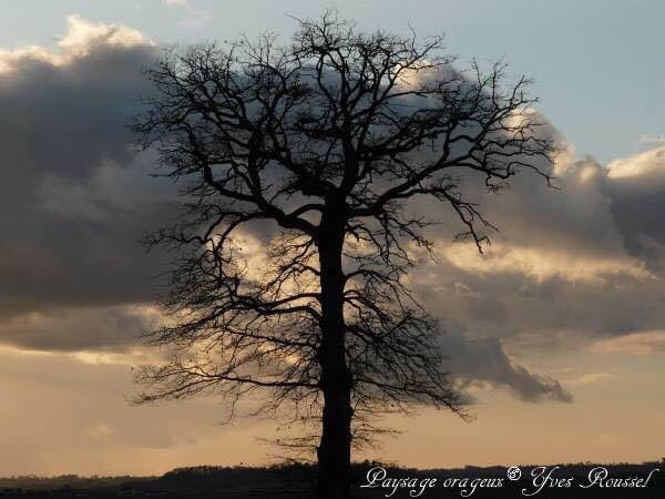 Photo of a tree maidenhair, silver or Ginkgo on stormy landscape background apricot in the department of Charente, which is located in South-West France © Yves Roussel http://www.mabellephoto.com/photo-art-6e3264.htm