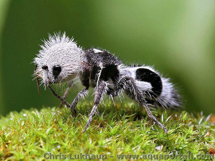 Euspinolia militaris, la fourmi Panda qui est une guêpe