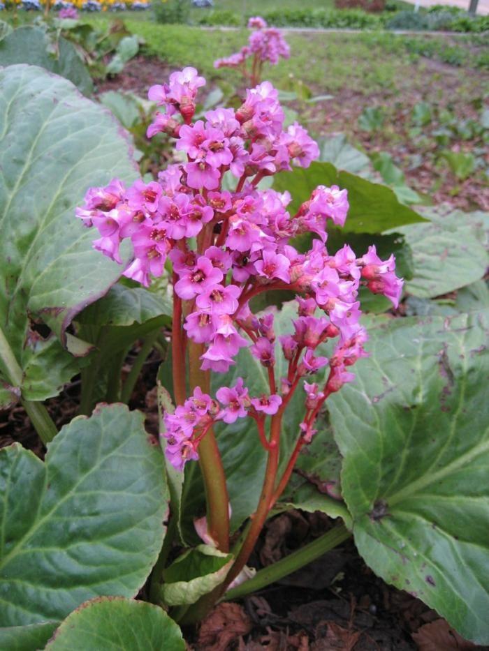Bergenia Crassifolia est une des plantes d'ombre les plus délicates