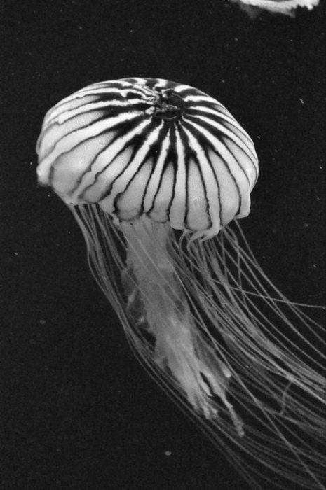 black and white / jellyfish