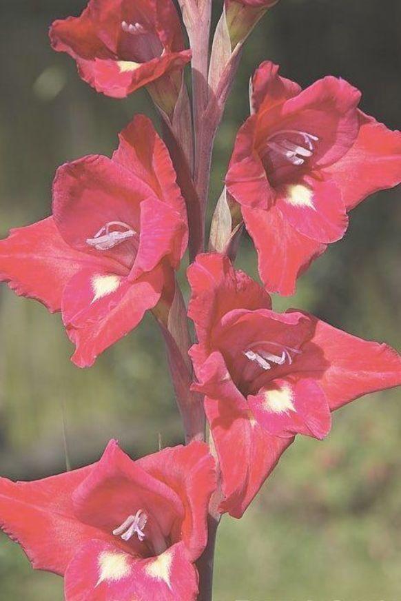 Waterfall Gladiolus Or New Year Lily Gladiolus Cardinalis A Summer Flowering Waterfall Gladiolus Or New Year Lily G Gladiolus Summer Flowers Flowers