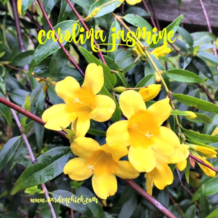My Carolina Jasmine is in full bloom. This is the first year it has been covered in blooms and it is about 4 years old. We planted it near this split rail fence because the vines can exceed 20 fe…
