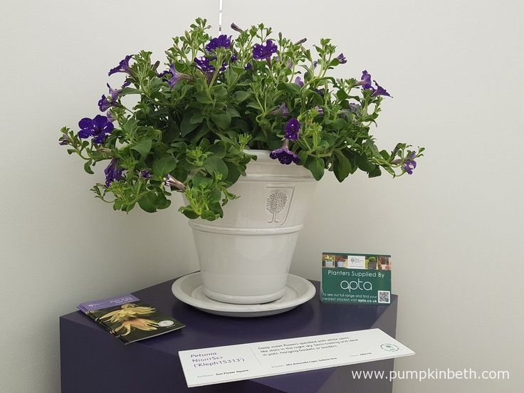 Petunia NIGHTSKY ('Kleph15313') is ideally suited for growing in hanging baskets, patio containers, and window boxes. Petunia NIGHTSKY has a naturally branching habit, and flowers early in the season - flowering from June to October.