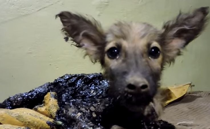 This poor pup wandered his way into a tar pit and was stuck fast, however, a kind boy took notice of the puppy and called in Animal Aid to help.