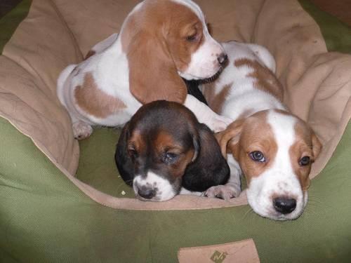 Basset puppies!