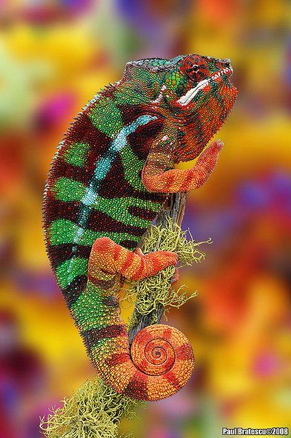 Rainbow Chameleon: Animals, Chameleons, Nature, Color, Rainbows, Reptile, Photo