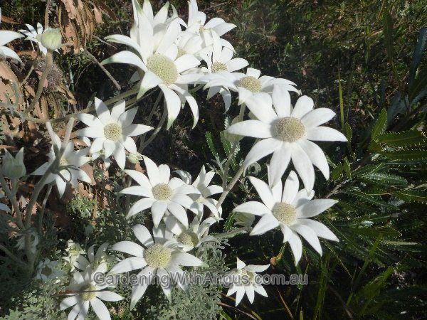 Actinotus helianthi aka Flannel Flower: great native that can be grown in pots.