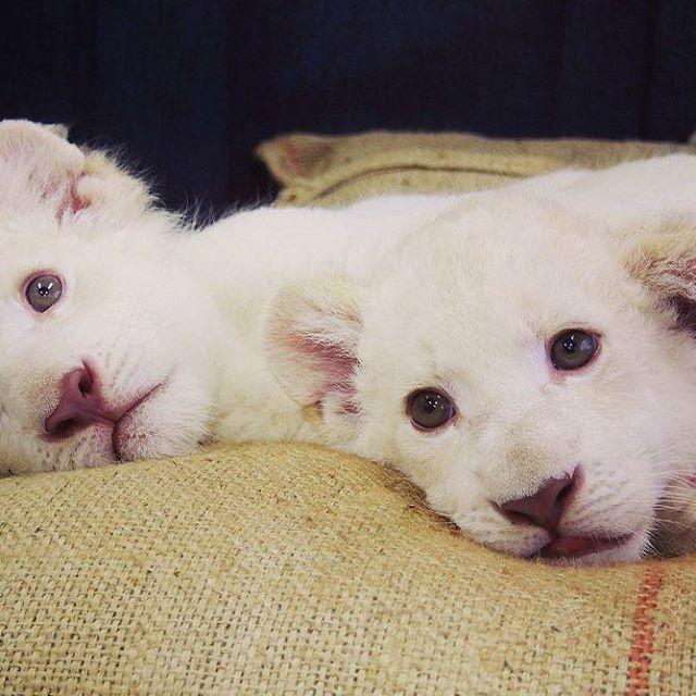 hcpsafari 今日でホワイトライオン双子の赤ちゃんが 生後2か月経ちました♡! 日々たくましく成長しています(`・ω・´) 名前募集も今月の31日まで行っていますので ぜひ2頭に会いに来て 素敵な名前の応募お願いします♪ #姫路セントラルパーク #ホワイトライオン #赤ちゃん #himejicentralpark #whitelion #baby 姫路セントラルパーク 2017/07/22 18:40:52