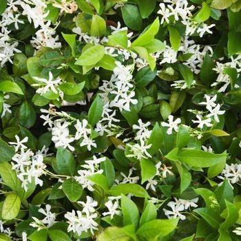 Star Jasmine~ really, really adore it!!