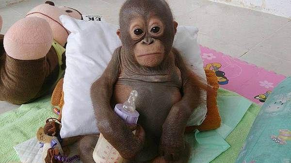 El bebé orangután que conmueve al mundo   AdriBosch's Magazine