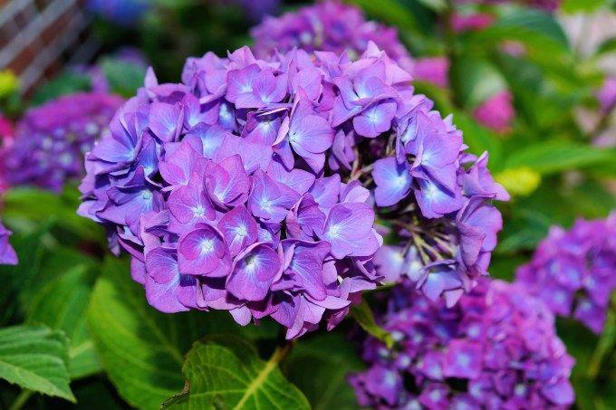 Gambar Bunga Hortensia yang Amat Indah