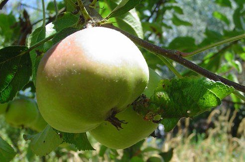 Top 12 Toxic Fruits and Vegetables