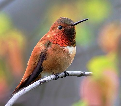This Is On A Natural Perch With Colorful Background But The Previous Has Fully Glowing Gorget And Eye Contact