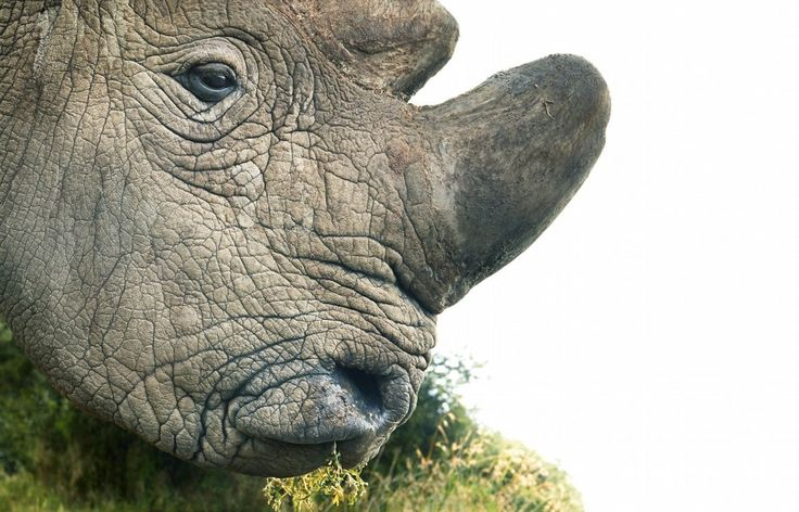 Sudan, pictured here, is the last male northern white rhinoceros in the world. Another photo of Sudan, taken by biologist Daniel Schneider, recently went viral. 'Want to know what extinction looks like? This is the last male Northern White Rhino,' Schneider tweeted. 'The Last. Nevermore.' (Photo by Tim Flach) via @AOL_Lifestyle Read more: https://www.aol.com/article/news/2017/11/15/stunning-new-photos-show-the-faces-of-animals-on-the-verg