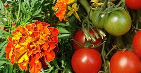 Μωσαϊκό: Τι γυρεύει ο κατιφές με την ντομάτα