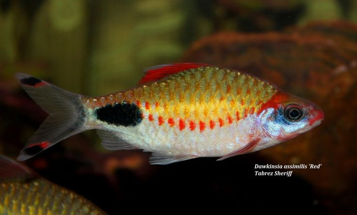 "Dawkinsia assimilis 'Red' - ~5"" peaceful schooling barb from the Netravati, Chalakudy and Kallada river basins in Southern India"