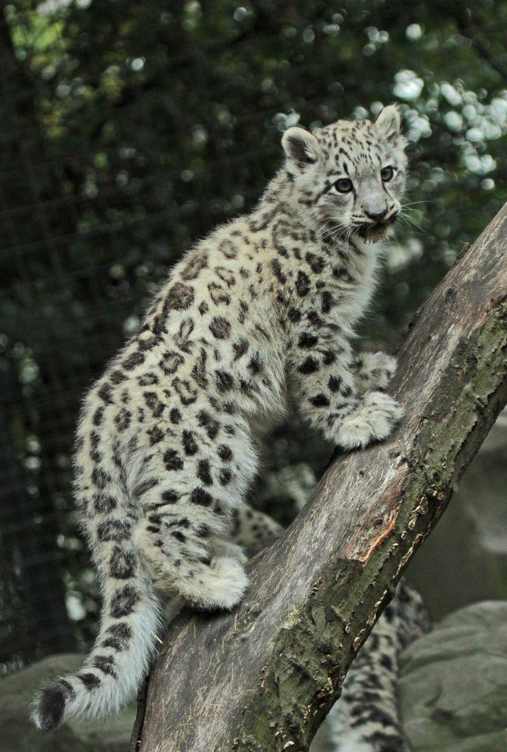 Snow leopard cub                                                                                                                                                                                 More