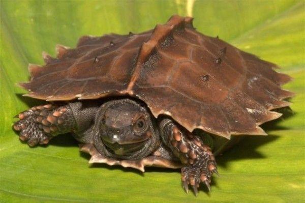 Tartaruga espinhosa: A espécie Heosemys spinosa possui um casco incrível e é encontrada apenas no sudeste da Ásia. Como muitas espécies de tartarugas, a espinhosa é caçada para servir de alimento por lá. Devido a esse fato e à recente e gradual perda de habitat, o número de sua população tem caído ao longo dos últimos anos.
