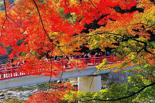 絶景! 優美に色づく紅葉の香嵐渓で、秋の薫りに包まれる 待月橋(たいげつきょう)と、五色もみじ