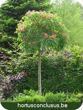 Aesculus pavia 'Koehnei' of dwergpaardekastanje als ideale boom voor een kleine tuin stadstuin paardekastanje soorten ziektes