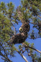 Berry College Female Bald Eagle 1