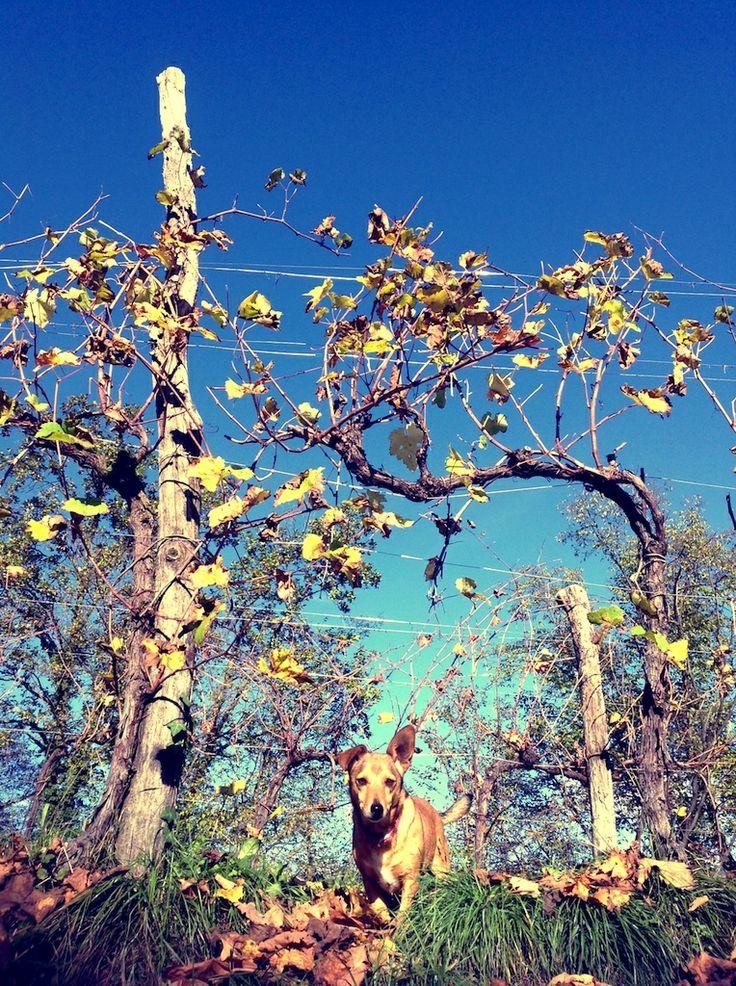 La nostra cagnolino Brush ci segue nelle passeggiate fra le #viti... #Autunno #vigneto #ConeglianoValdobbiadene