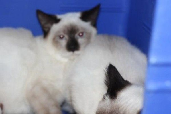 Siamese Cat For Adoption In Colorado Springs Colorado Janet In Colorado Springs Colorado Siamese Cats Cats