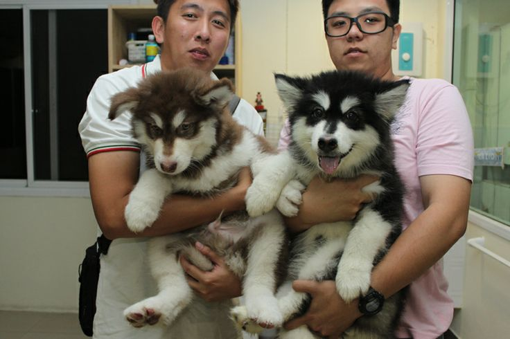 Lab Puppies For Sale Alaska Ideas