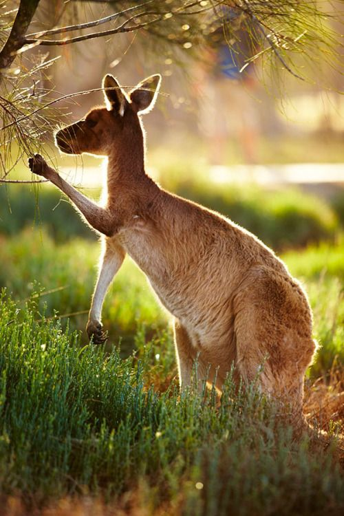 A kangaroo picks out vegetation along the route of the Indian Pacific train, which runs across Australia from Sydney to Perth // photo by Matt Munro